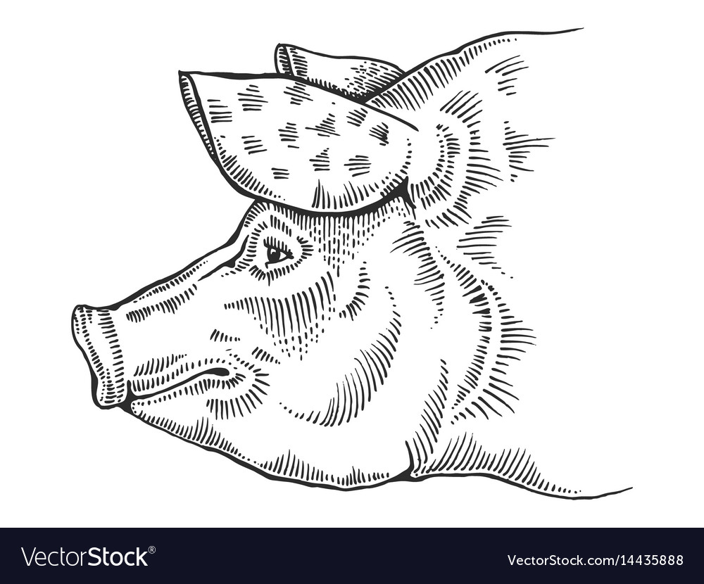 Pig head engraving style vector image