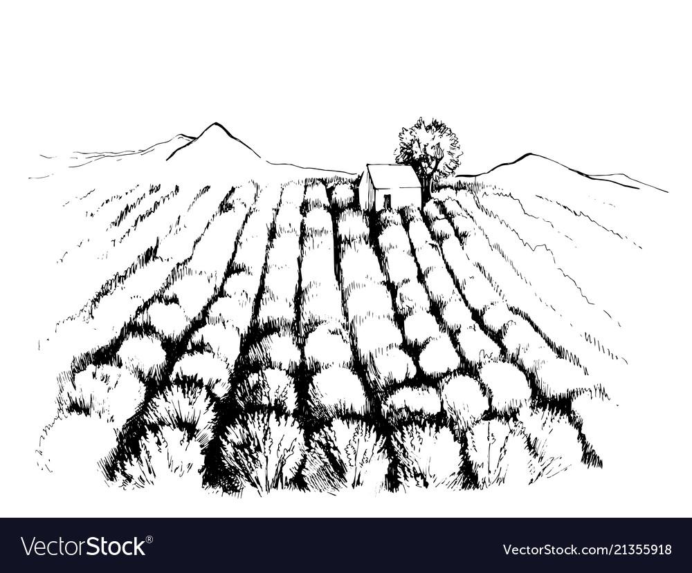 Hand drawn lavender field