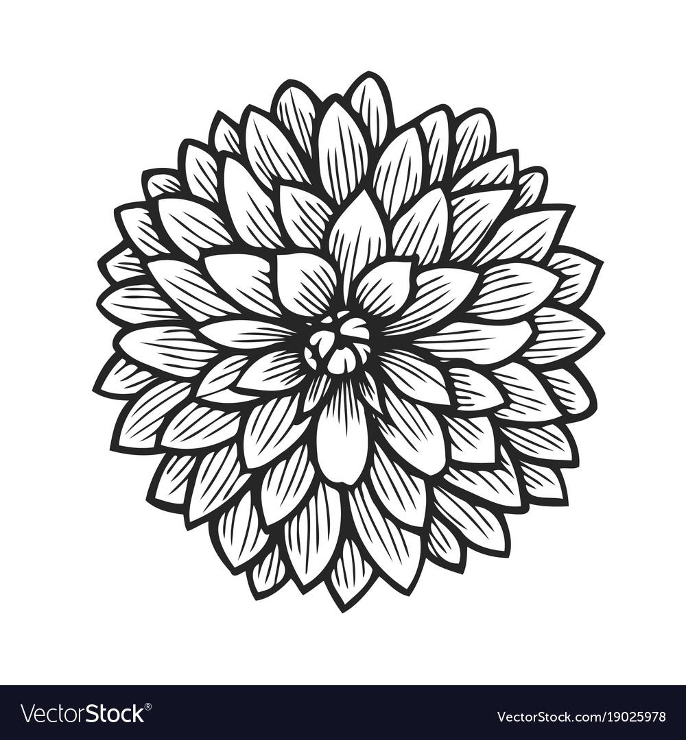Hand Drawn Dahlia Royalty Free Vector Image Vectorstock