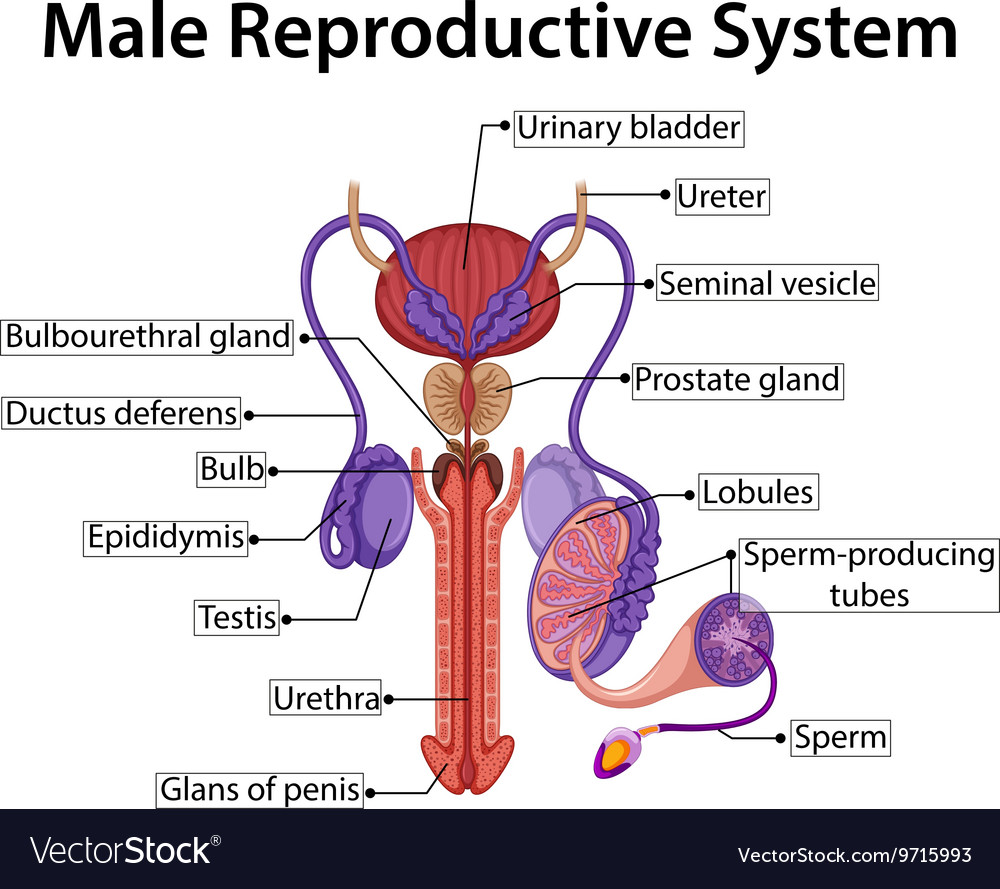 Chart Showing Male Reproductive System Royalty Free Vector