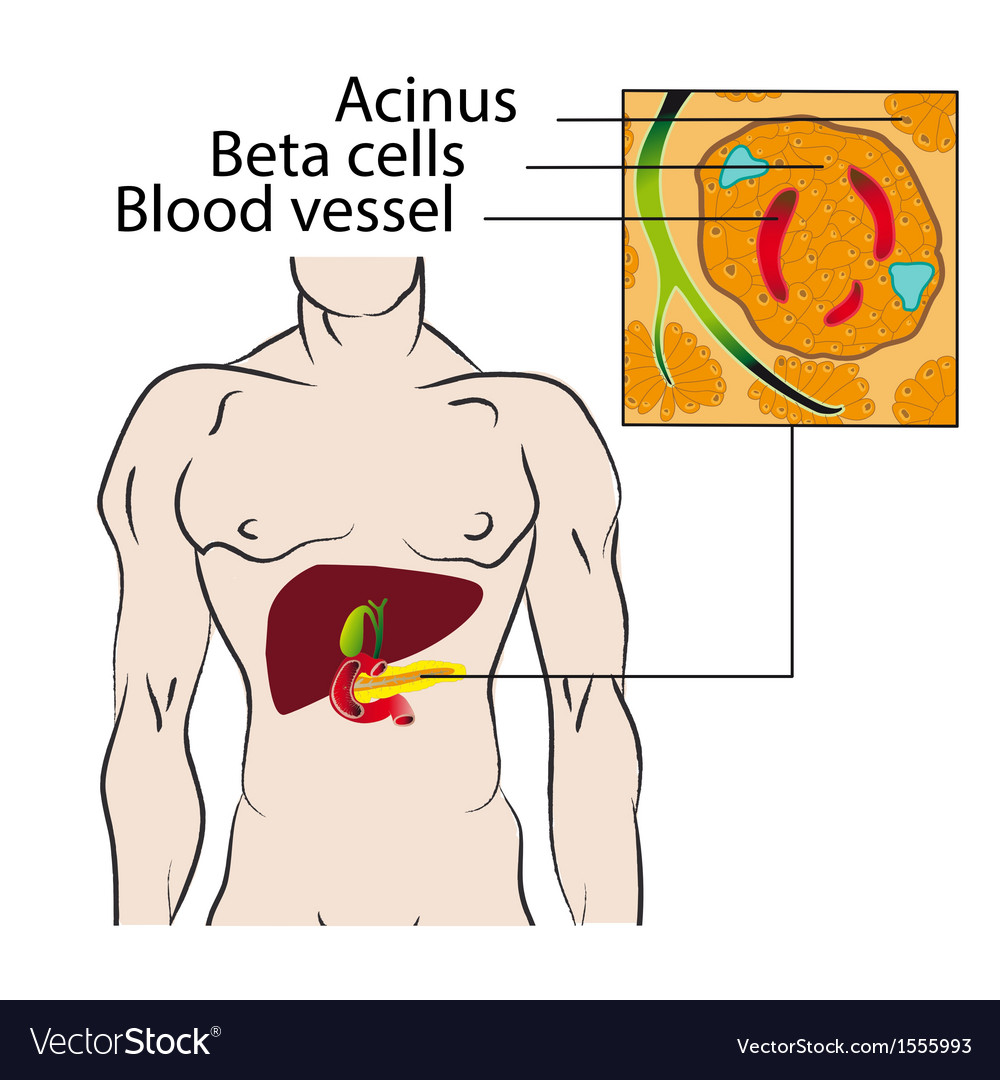 Insulin From The Beta Cells Of The Pancreas Vector Image