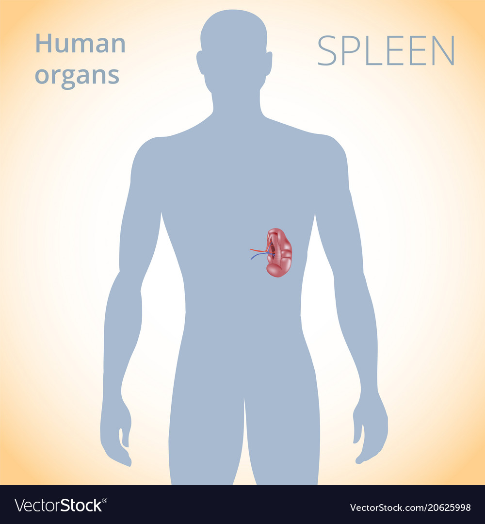 Location Of The Spleen In The Body The Human Vector Image