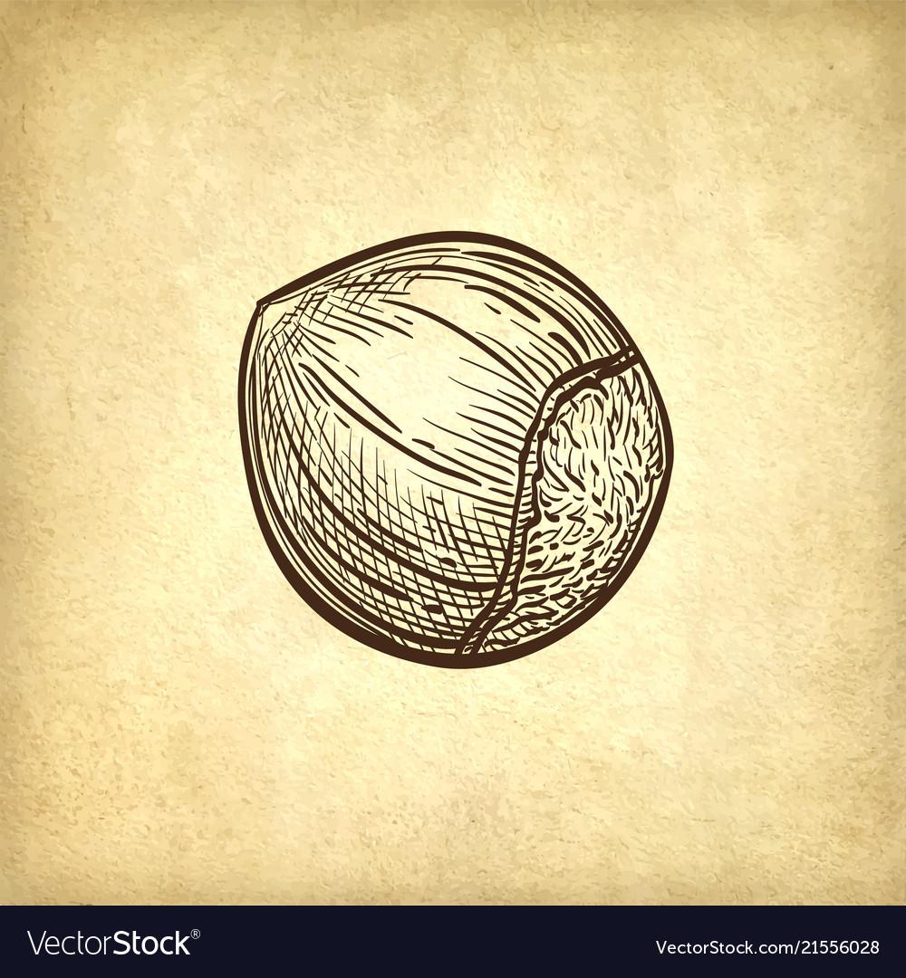 Ink sketch of hazelnut