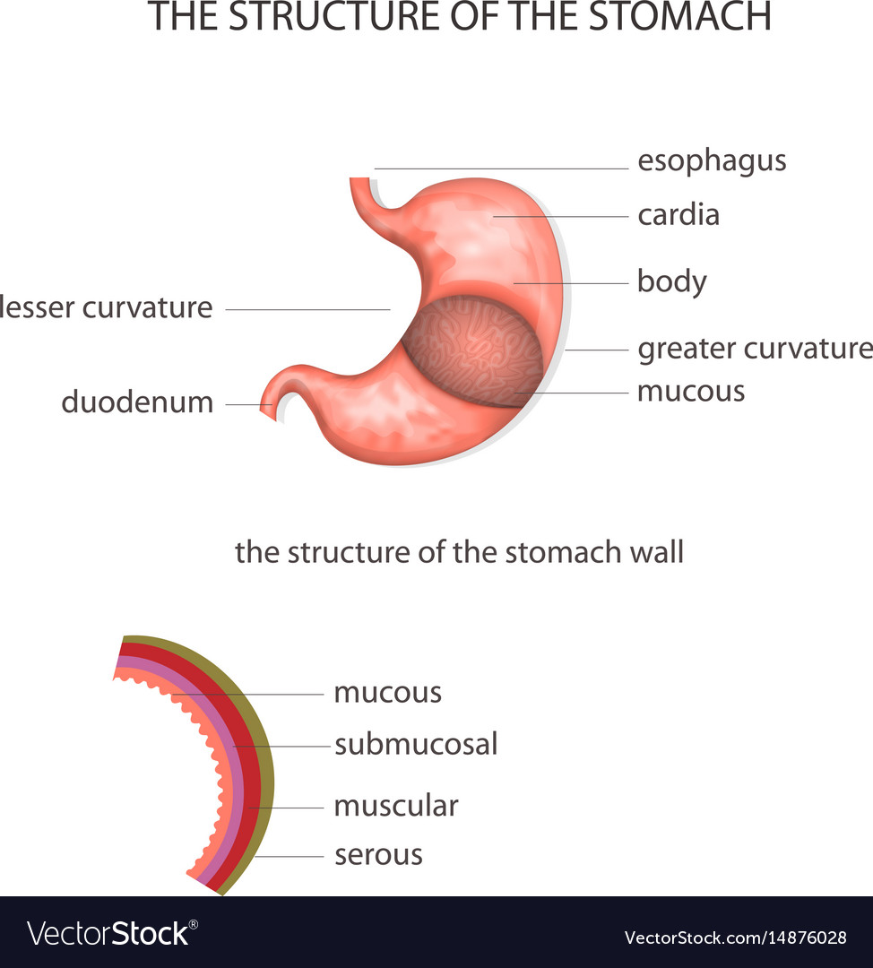 Structure Of The Stomach Royalty Free Vector Image