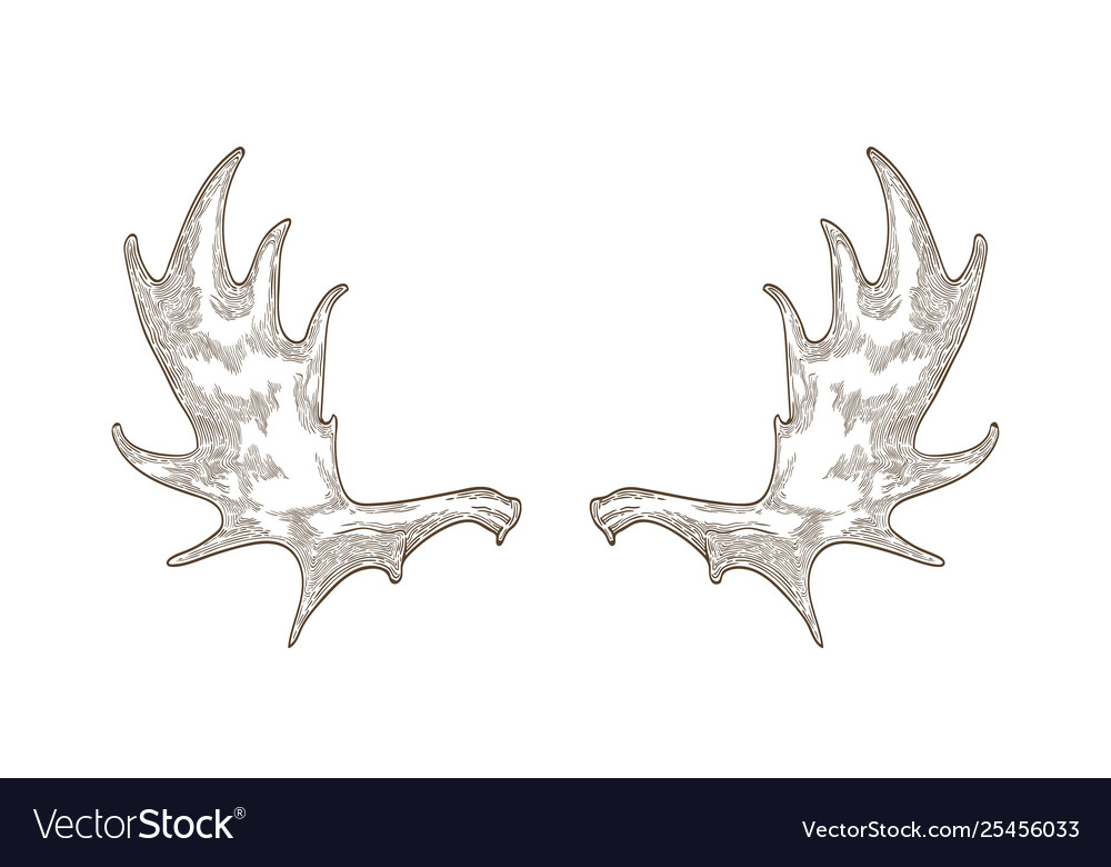 Elegant Drawing Elk Or Moose Antlers Isolated Vector Image