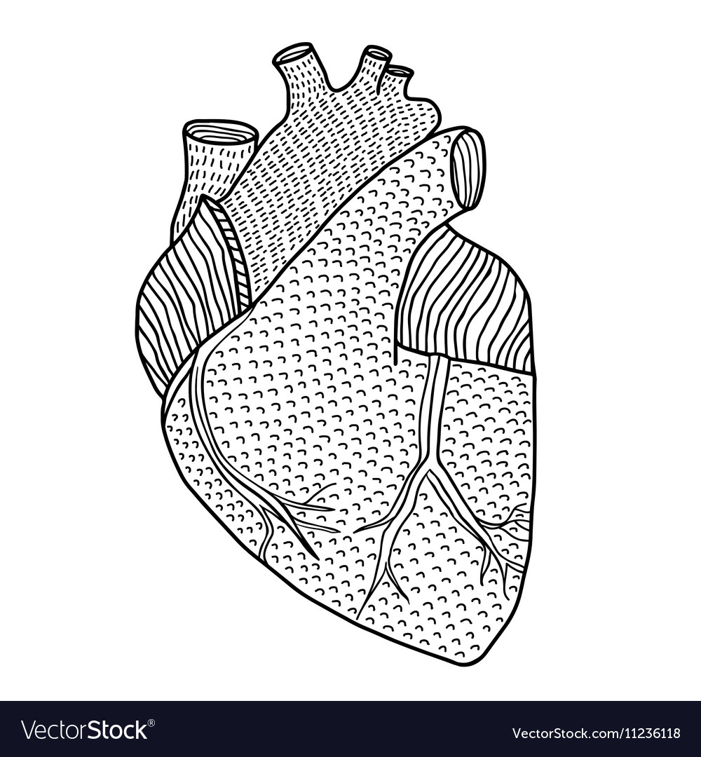 Human heart hand drawn isolated on a white