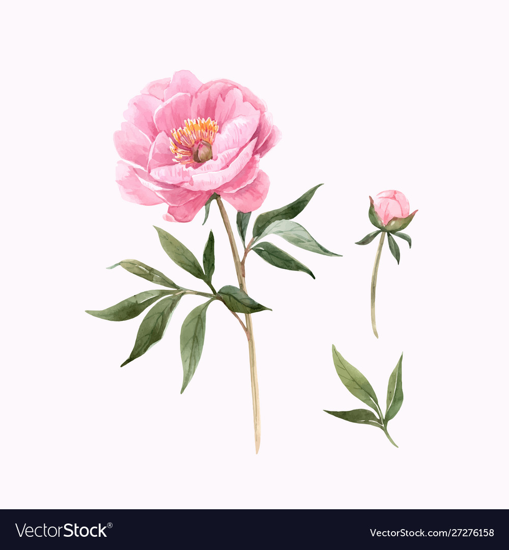 Watercolor Peony Flowers Royalty Free Vector Image