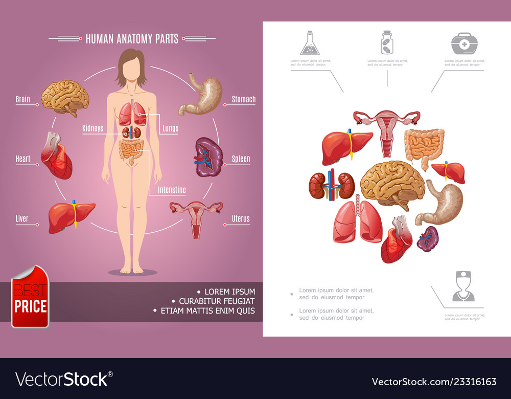 Cartoon human anatomy colorful concept