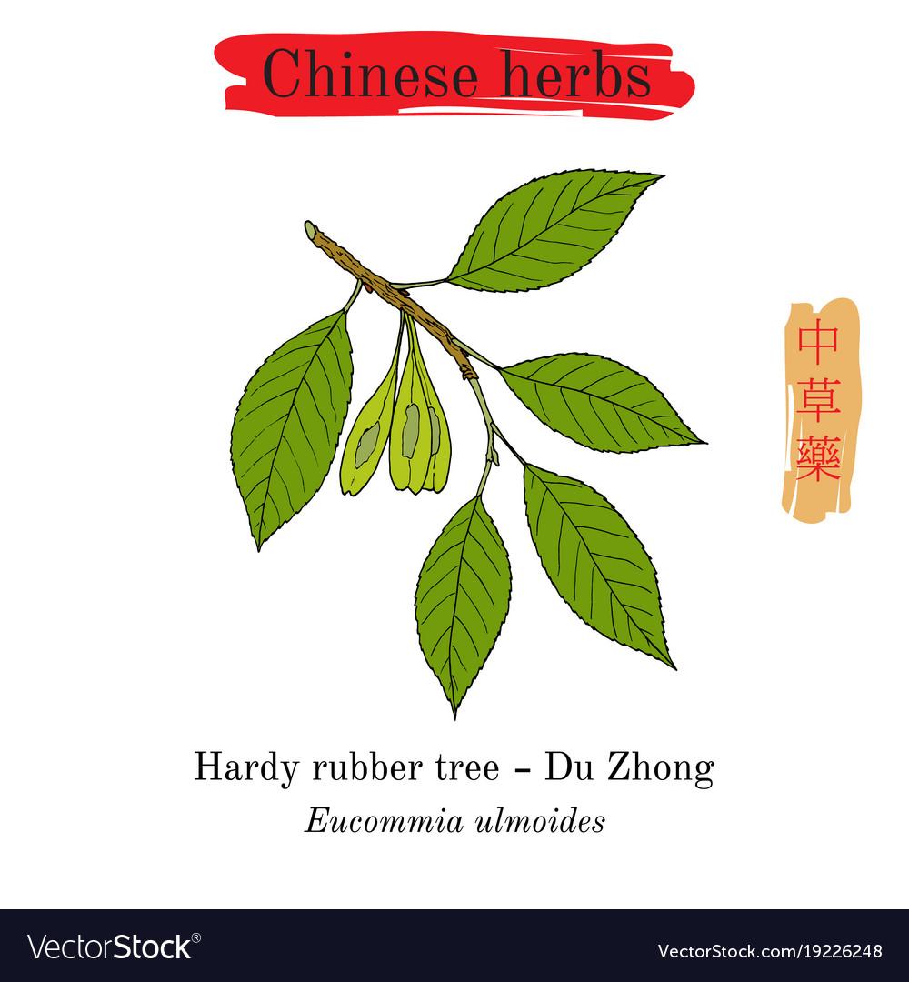 Medicinal herbs of china hardy rubber tree vector image
