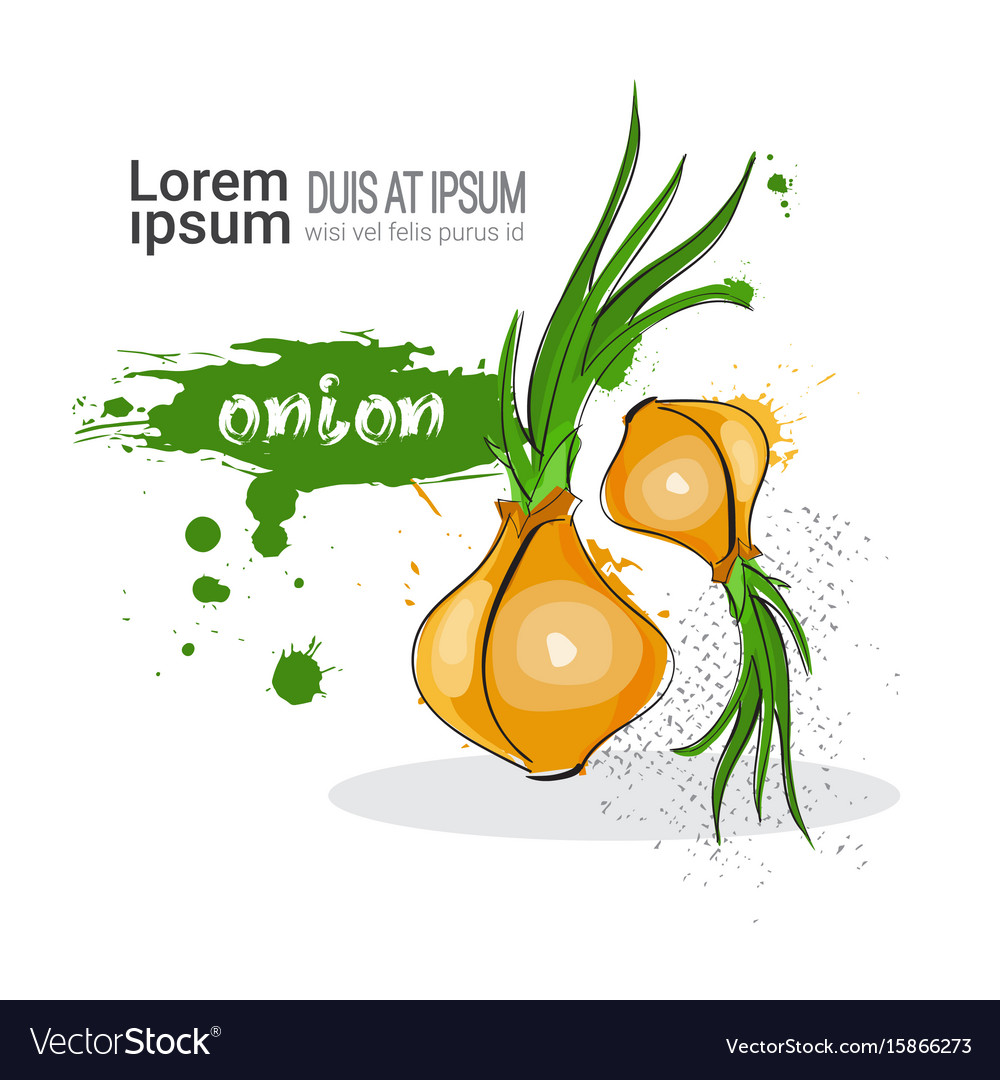 Onion hand drawn watercolor vegetable on white vector image
