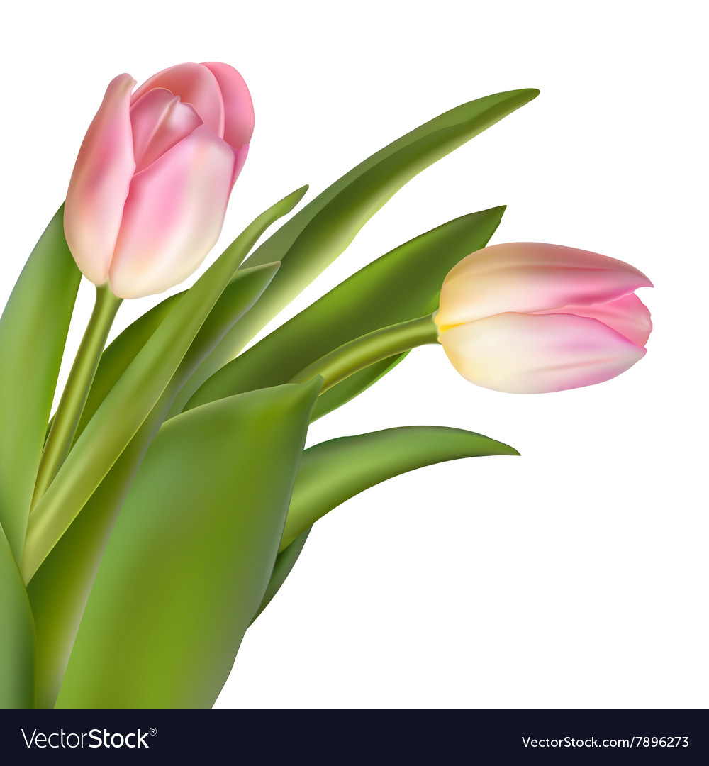 Pink Tulip Flowers Eps 10 Royalty Free Vector Image
