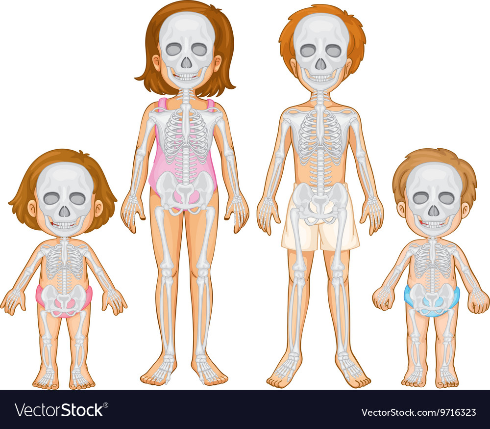 Skeletal System Of Human Royalty Free Vector Image