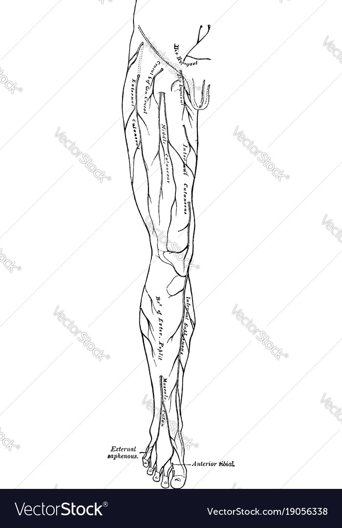 Leg nerves vintage Royalty Free Vector Image - VectorStock