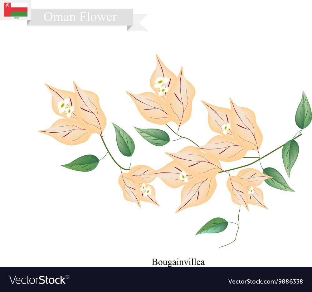 Orange Bougainvillea Flowers Flower of Oman