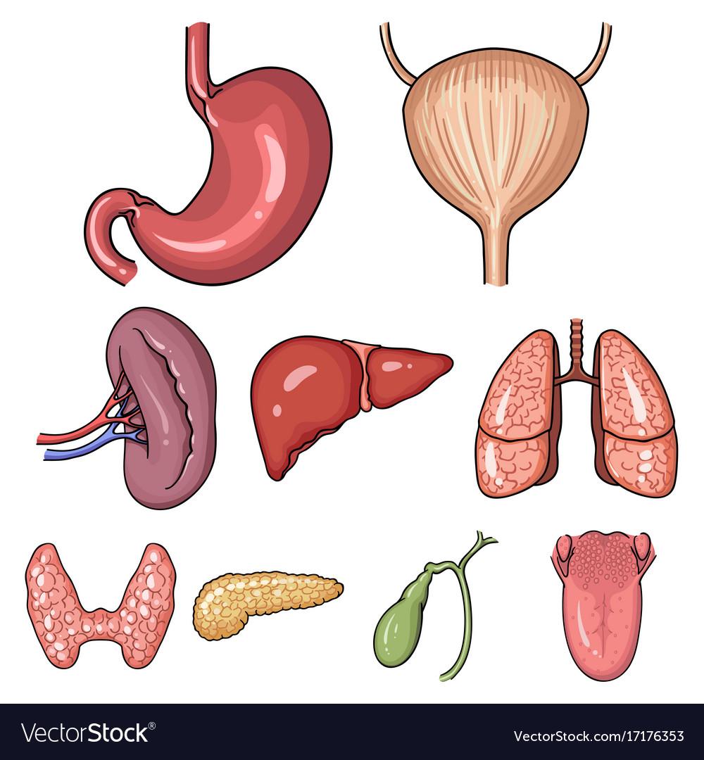 Human Organs Set Icons In Cartoon Style Big Vector Image Torso Diagram