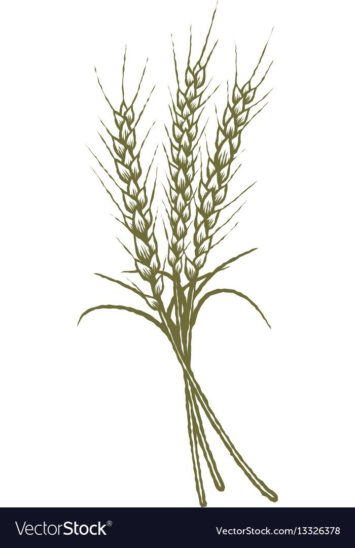 Woodcut wheat vector image