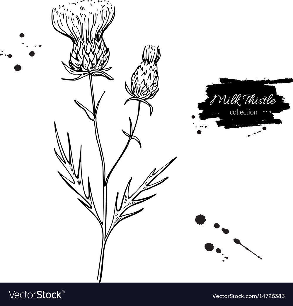 Milk Thistle Flower Drawing Set Isolated Vector Image