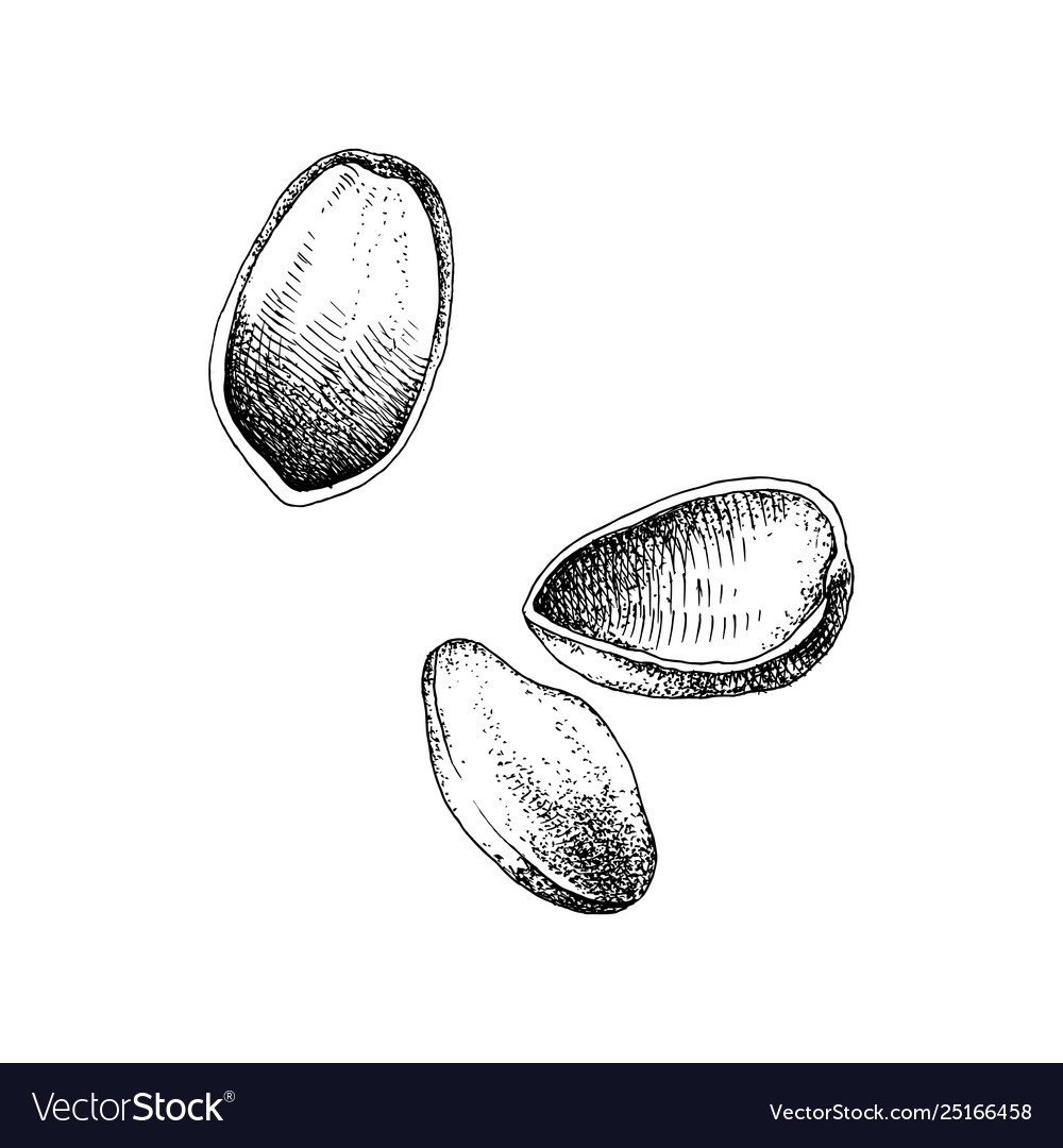 Hand drawn pistachio nuts falling