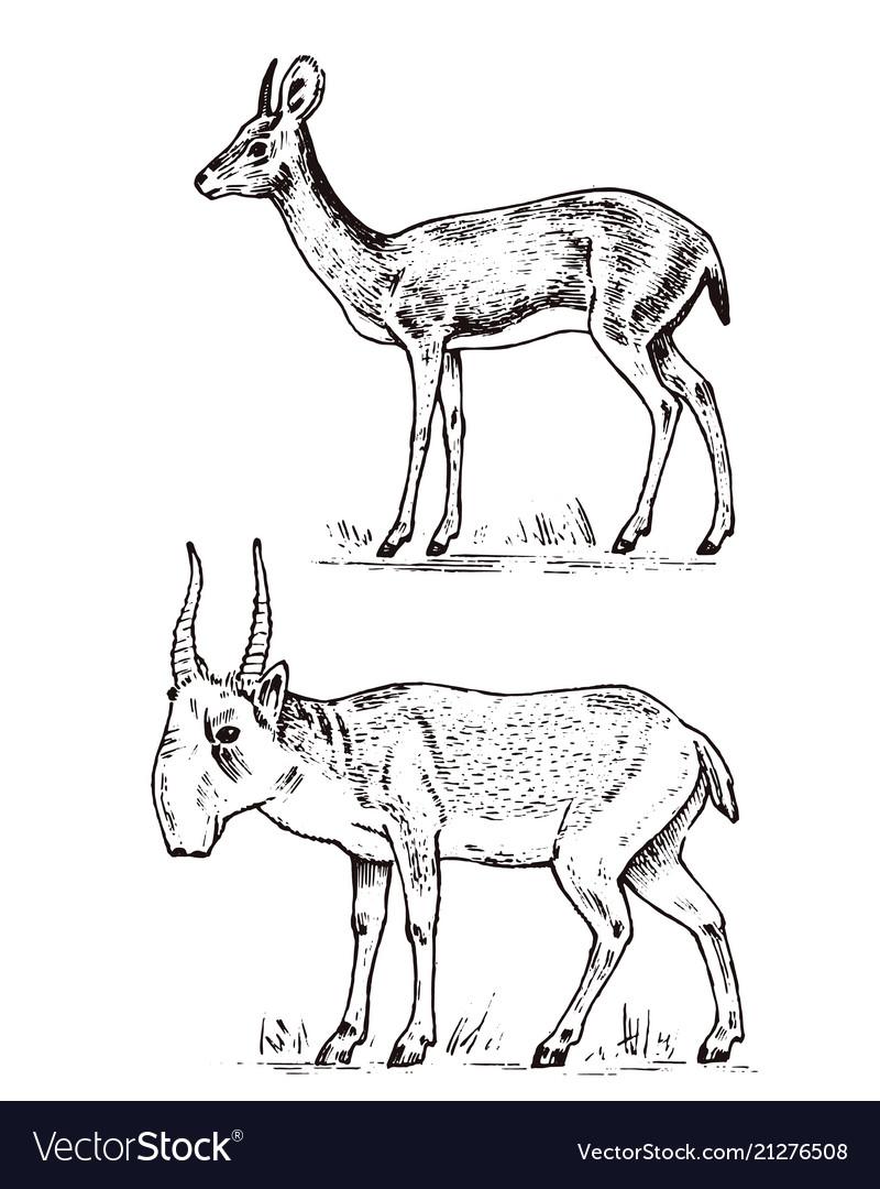African wild antelope deer or doe saiga and dik