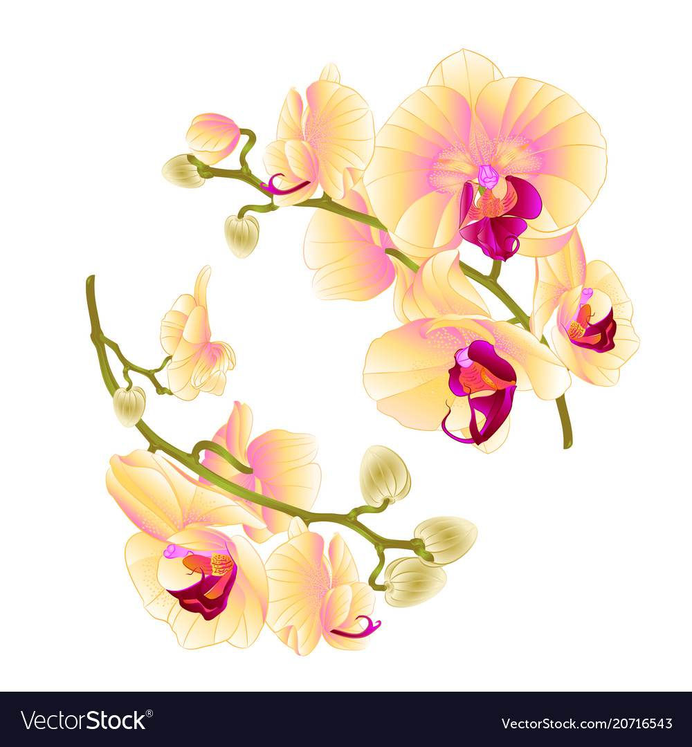 Branches Orchids Yellow Flowers Tropical Plant Vector Image