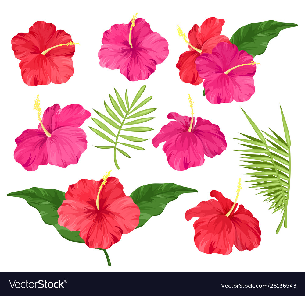Hibiscus flowers pink and
