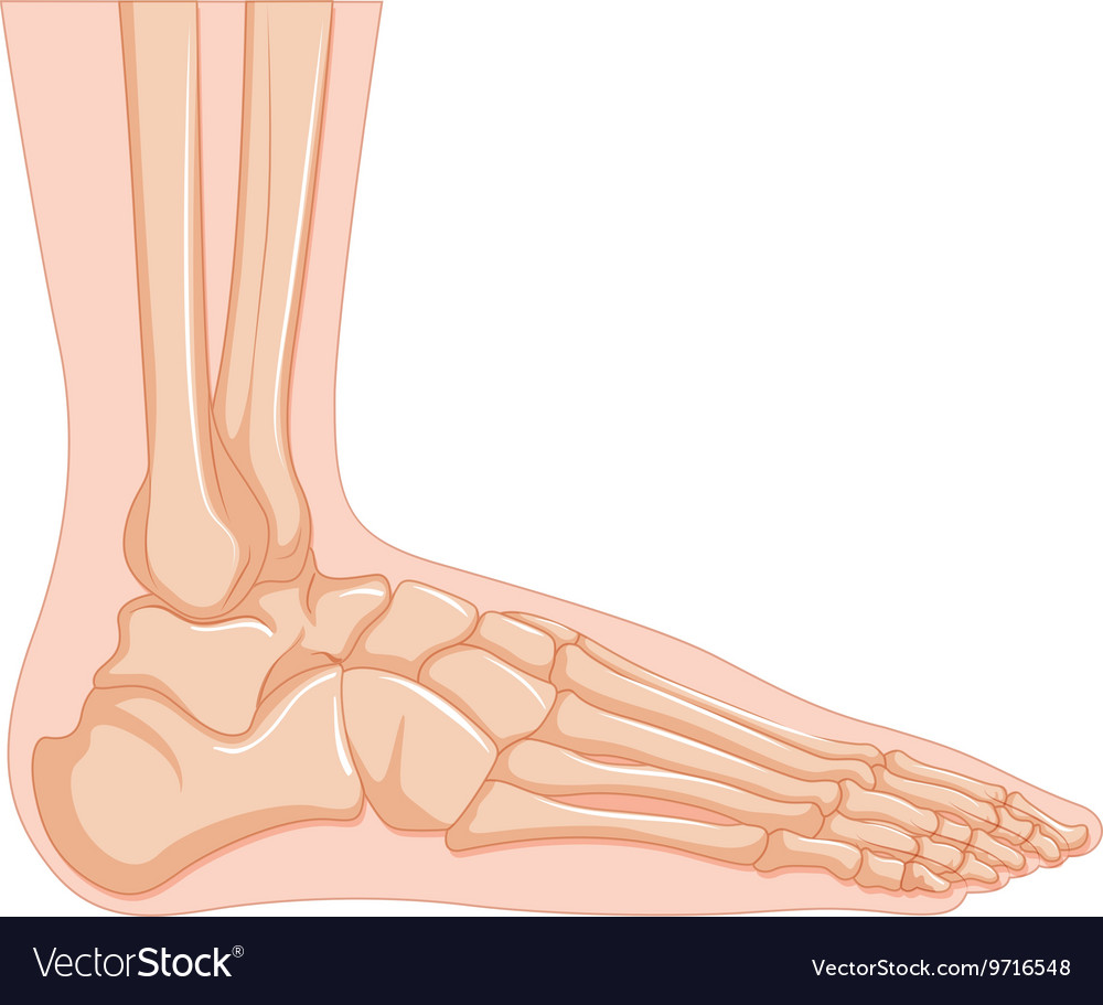 Inside of human foot bone Royalty Free Vector Image