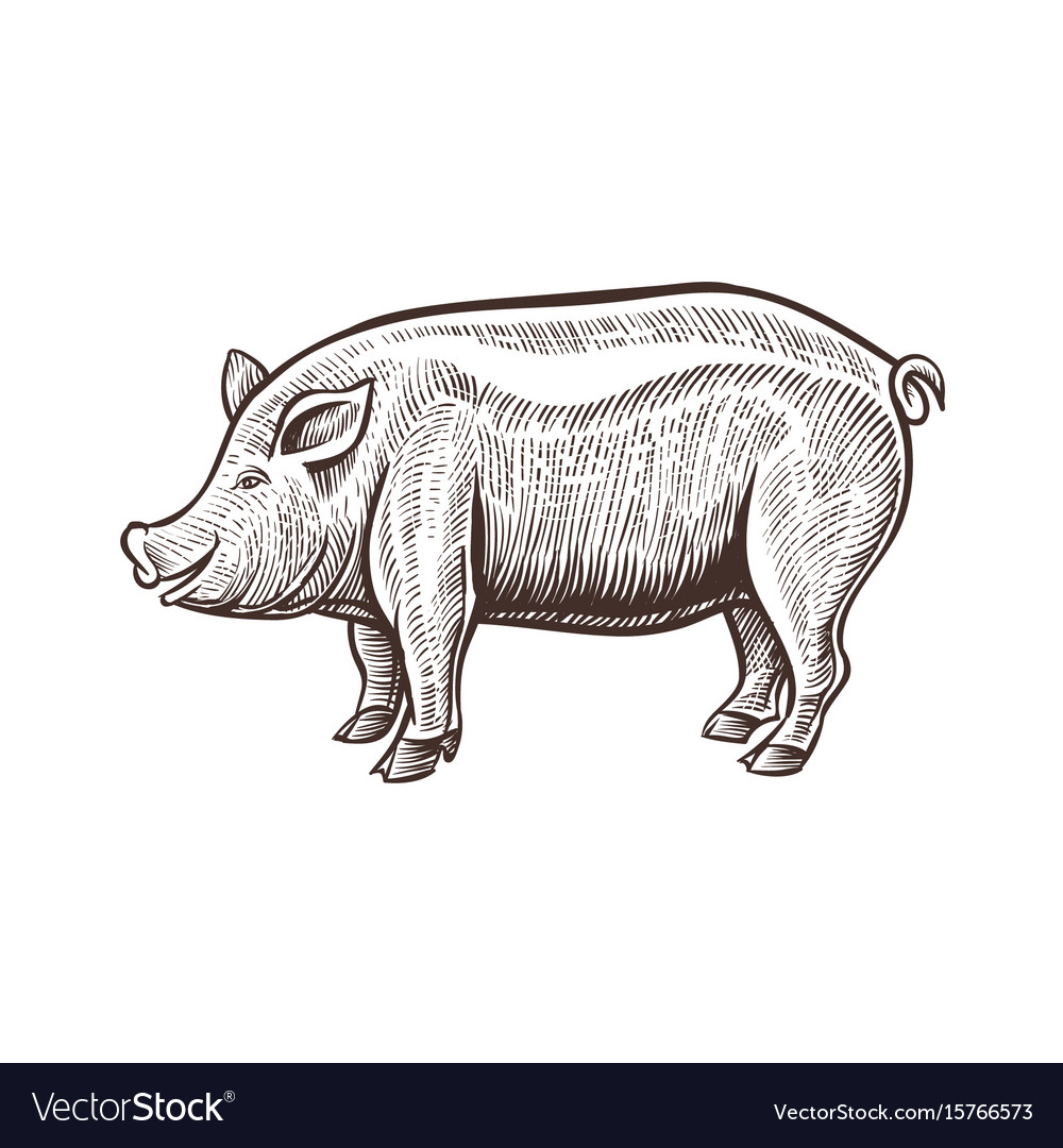 Farm pig animal sketch isolated pork on the white vector image
