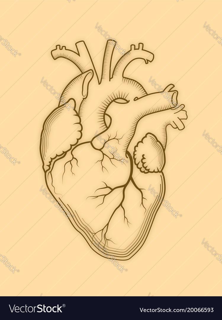 Heart the internal human organ anatomical vector image ccuart Gallery