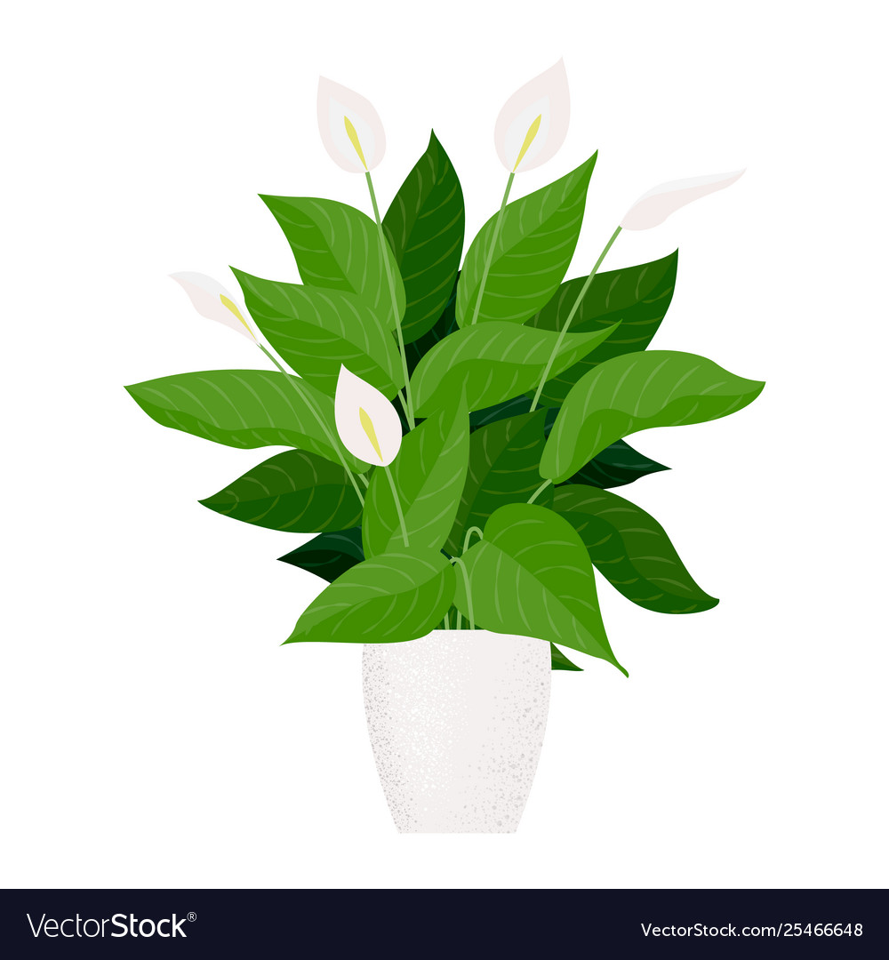 Plant indoor peace lily in cartoon style on peace lily family plant, chinese evergreen house plant, droopy peace lily plant, funeral peace lily plant, peace lily potted plant, peace lily plant benefits, classic peace lily plant, black bamboo potted plant, white and green leaves house plant, croton house plant, peace plant brown leaves, dragon plant, holly house plant, zamiifolia house plant, problems with peace lily plant, weeping fig house plant, marginata house plant, artificial bamboo house plant, black gold lily plant, pineapple plant house plant,