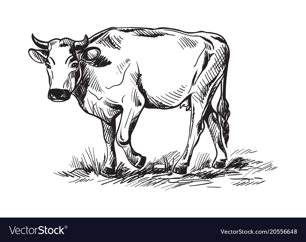 sketches of cows drawn by hand royalty free vector image