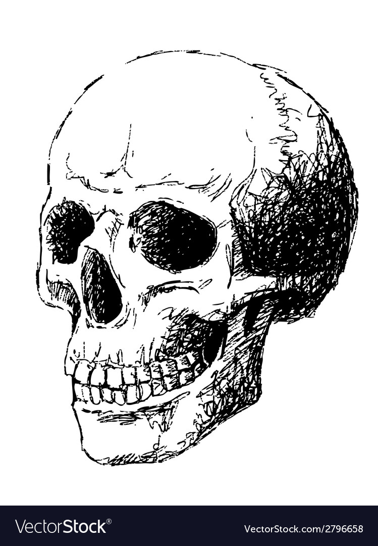 Side view of skull vector image