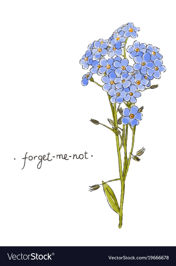 Wild Flower Forget Me Not Hand Drawn In Color Vector Image