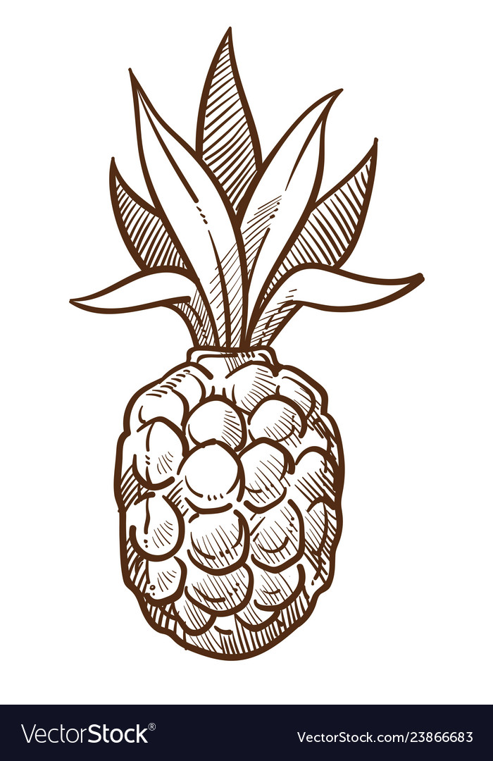 Pineapple tropical fruit isolated sketch food