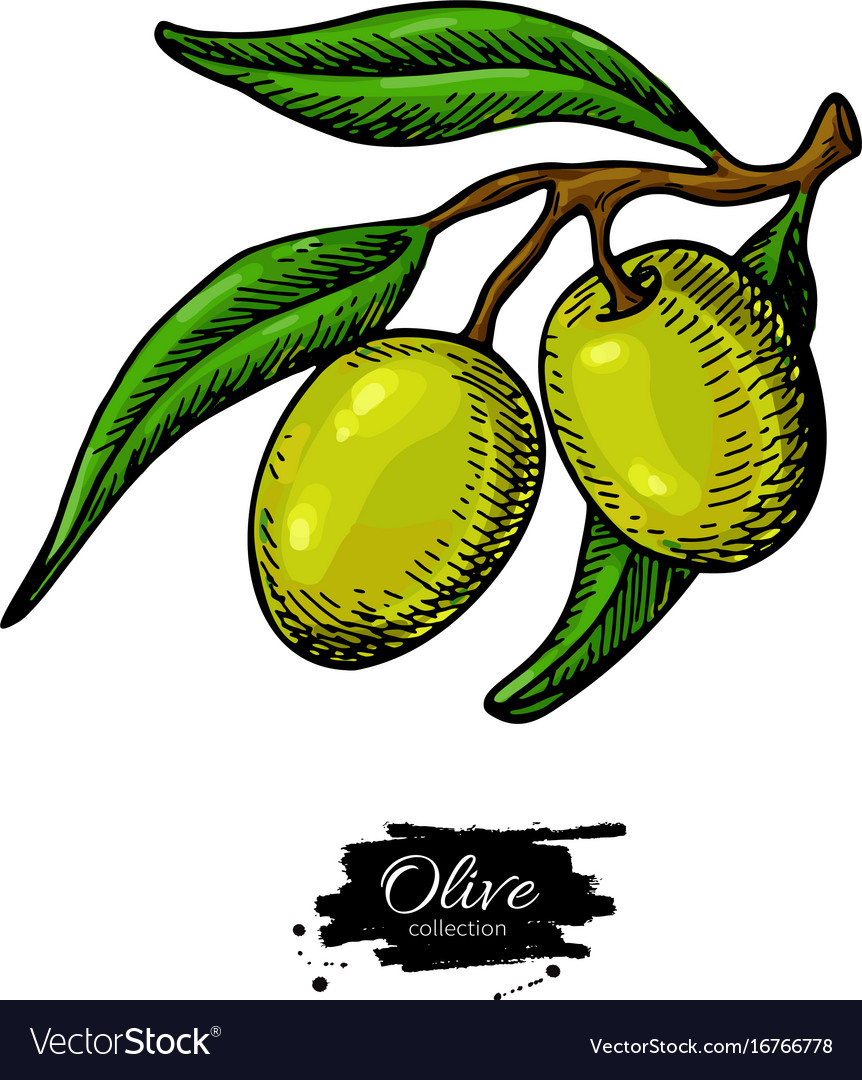 Olive branch hand drawn Royalty Free Vector Image
