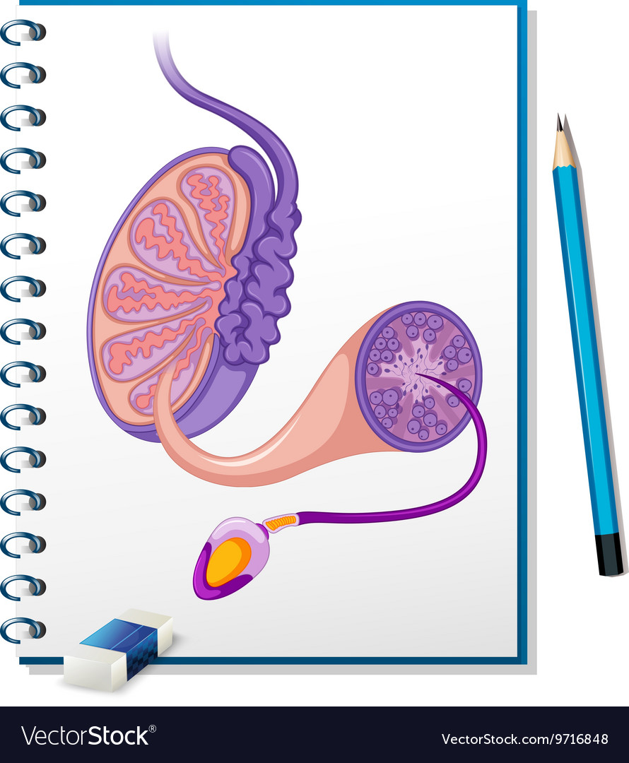 Male Reproductive Diagram On Paper Royalty Free Vector Image