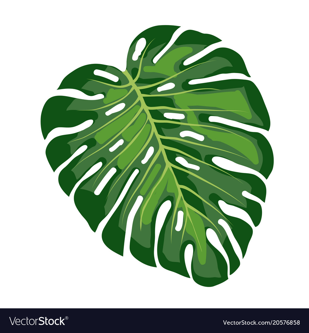 leaf tropical monstera royalty free vector image