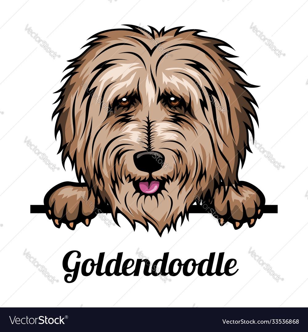 Goldendoodle - color head dog - stock