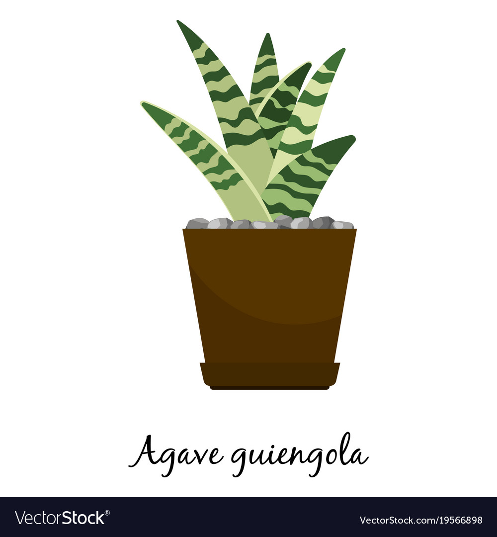 Agave guiengola cactus in pot vector image