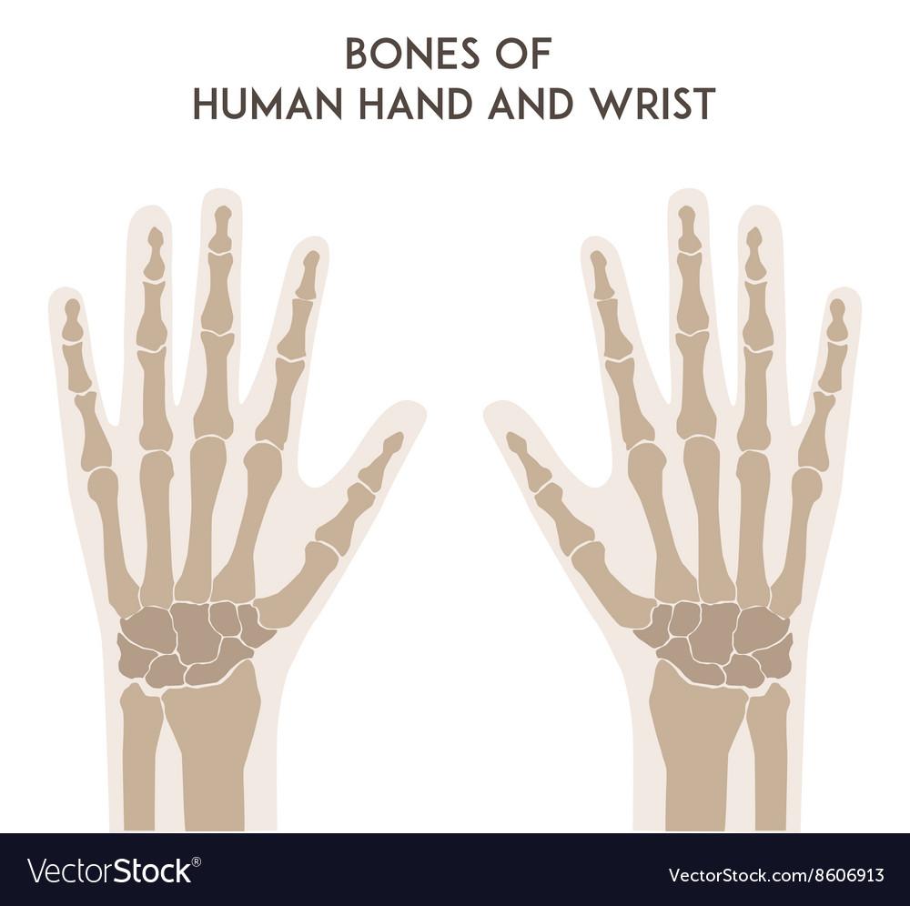 Bones Of Human Hand And Wrist Royalty Free Vector Image