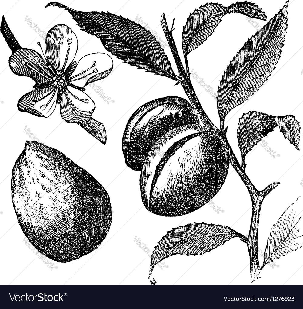 Almond tree vintage engraving
