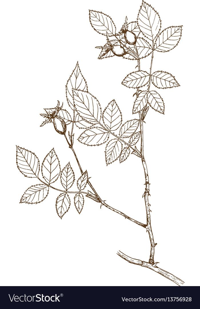 Rosa subafzeliana