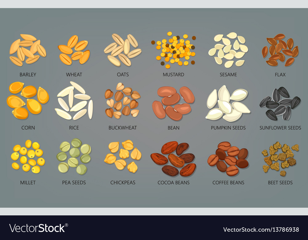 Food seeds and grains beans of coffee and cocoa vector image