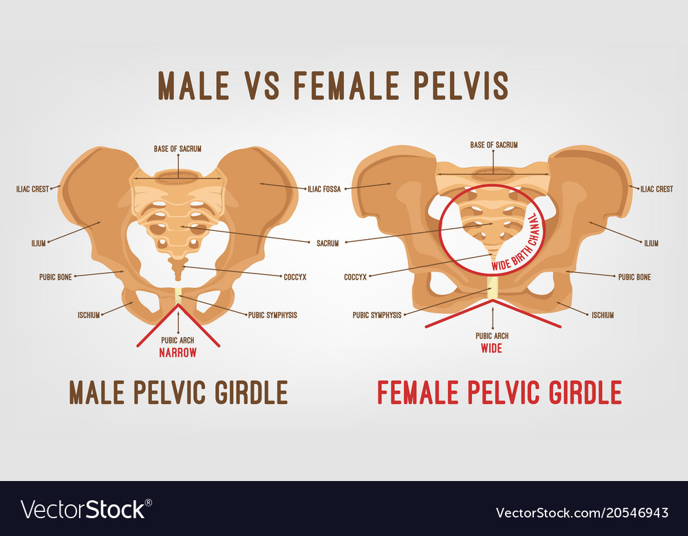 Female Male Pelvis Royalty Free Vector Image Vectorstock