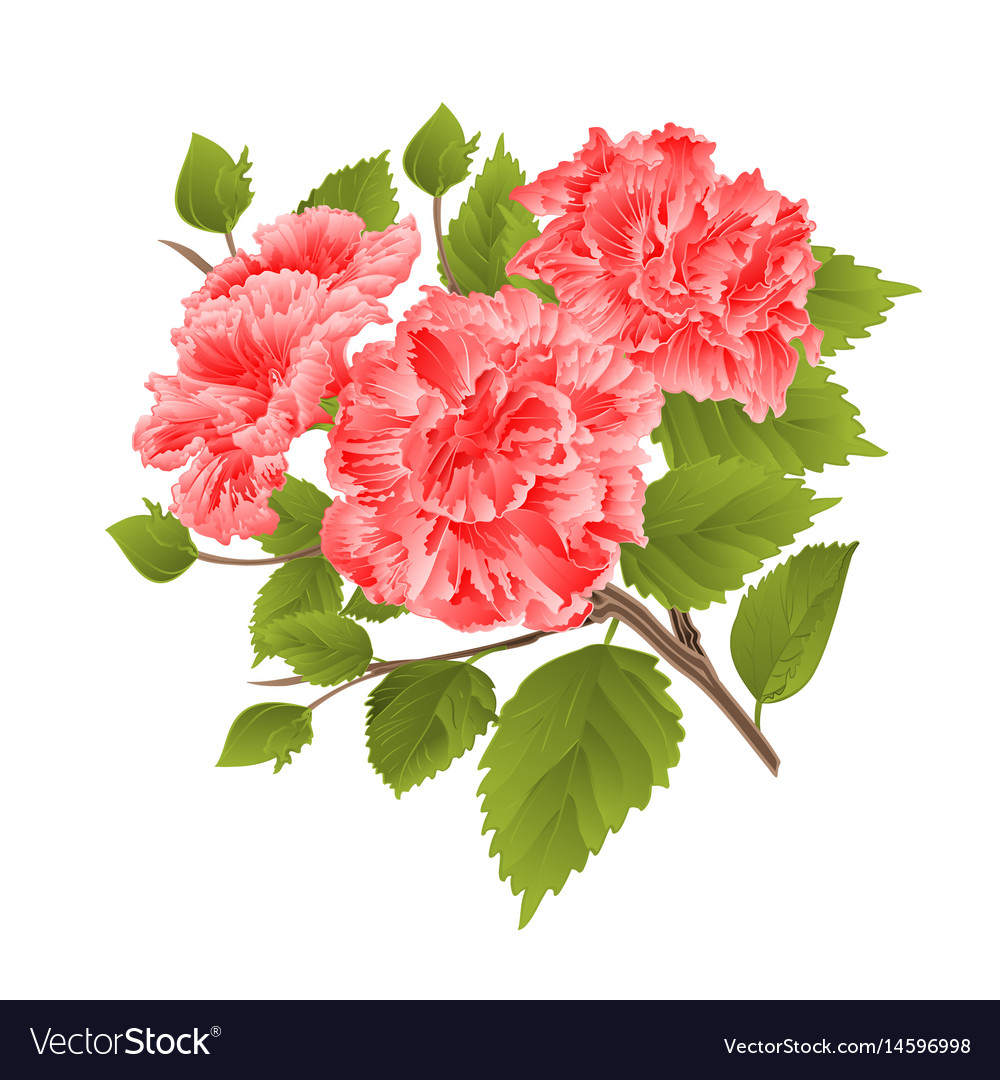 Branch Pink Hibiscus Tropical Flowers On A White Vector Image