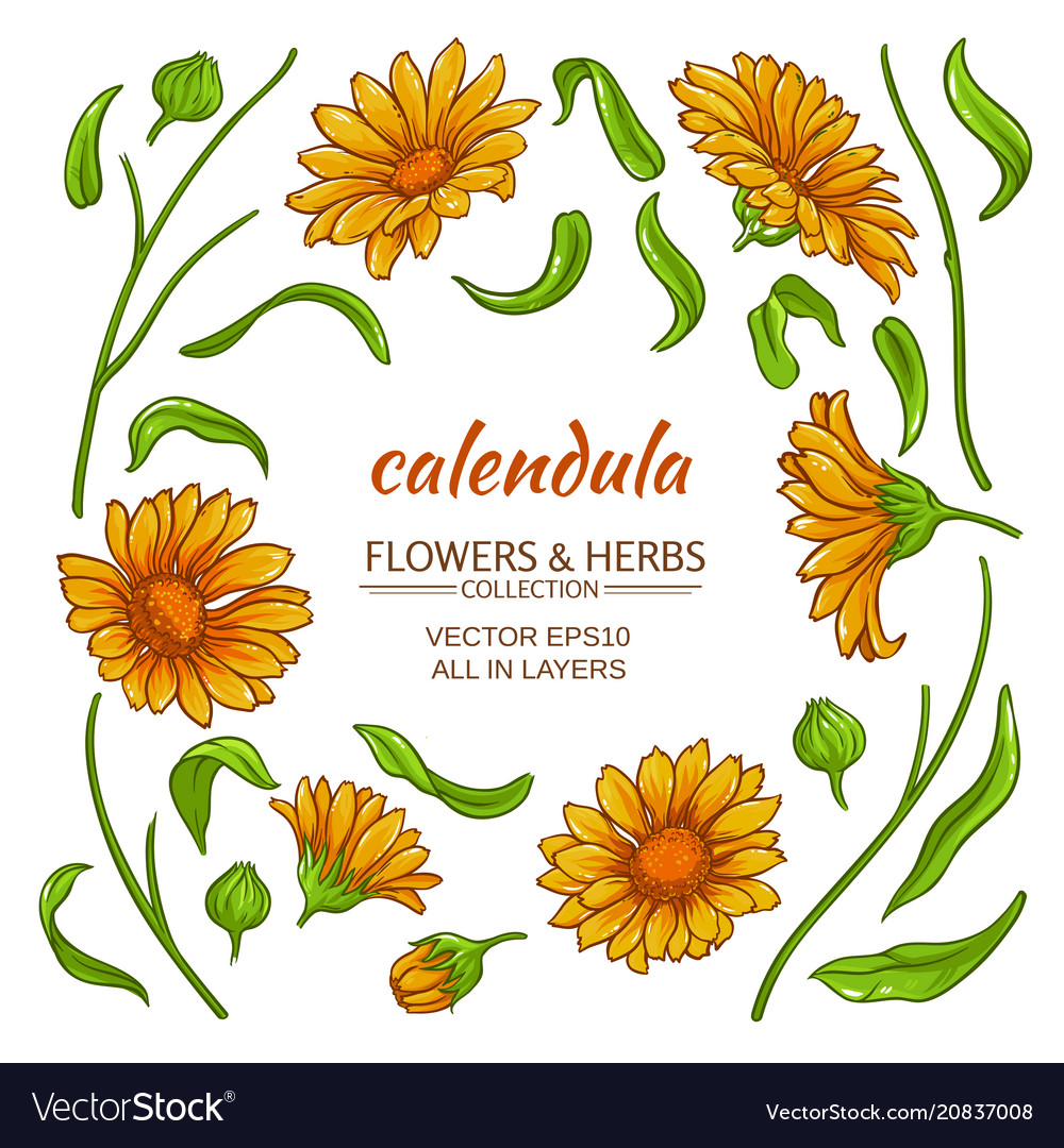 Calendula elements set