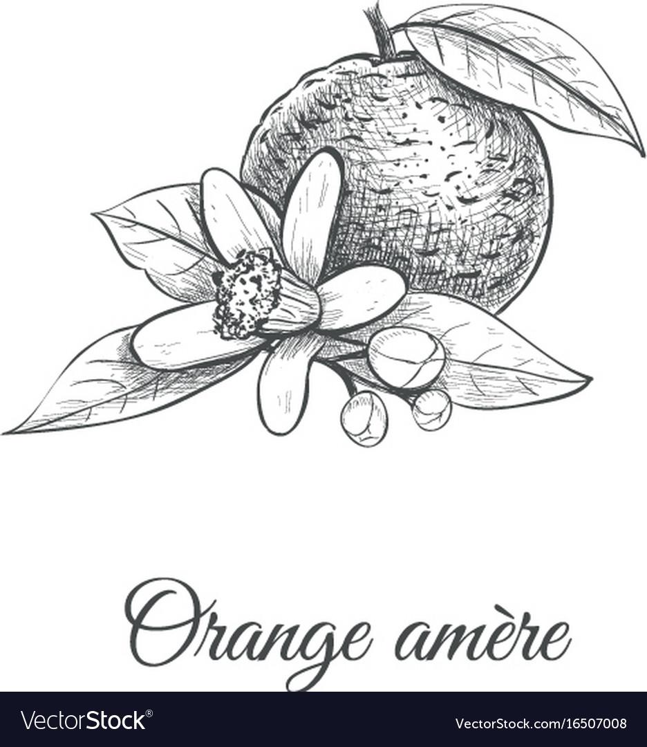 Orange amere bitter orange vector image
