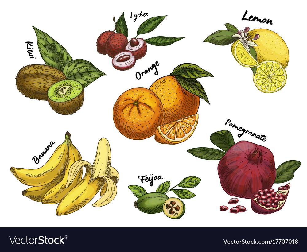 Kiwi sketch and isolated orange lychee and banana