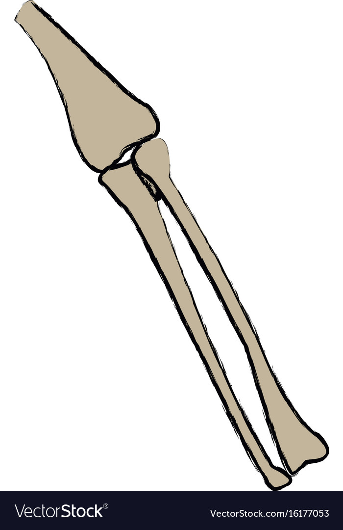 Leg Bones Tibia And Fibula Anatomy Human Vector Image