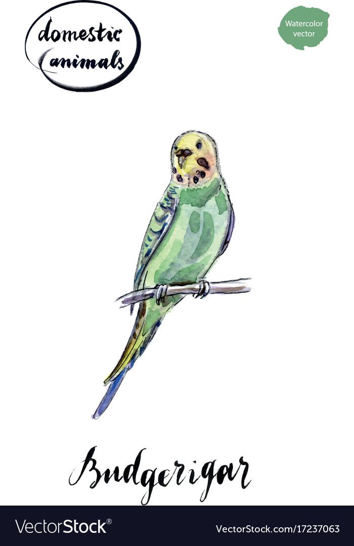 Watercolor green and yellow budgerigar