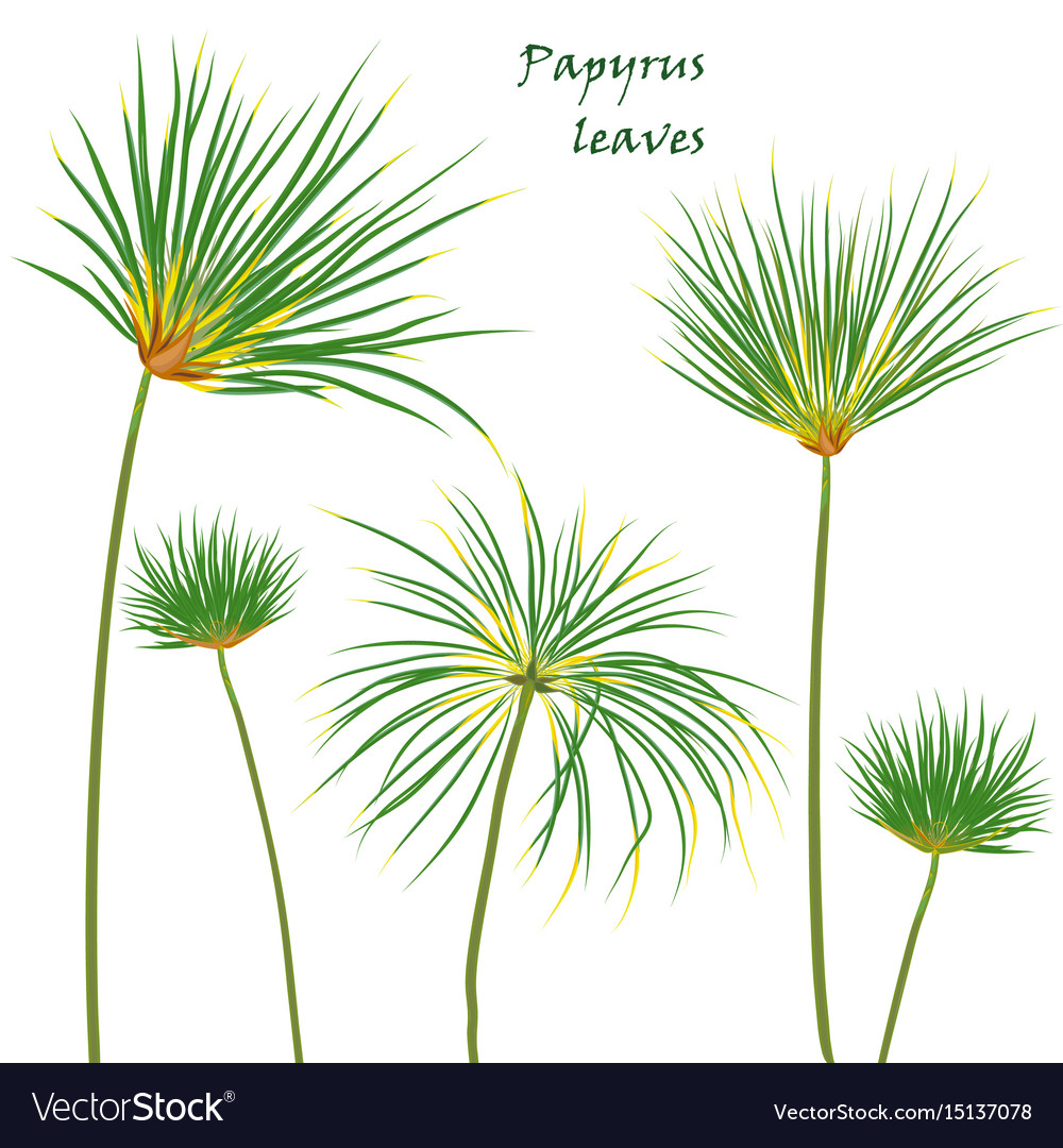 Set tropical palm papyrus leaves realistic